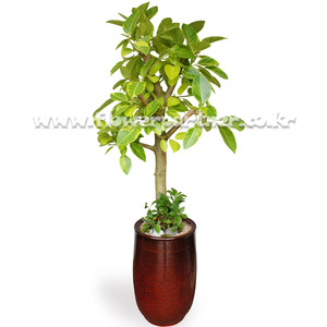 뱅갈고무나무 7호