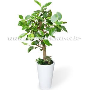 뱅갈고무나무5호