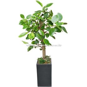 뱅갈고무나무 6호