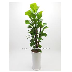 떡갈나무 6호