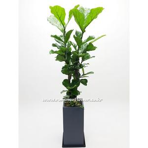 떡갈나무 8호