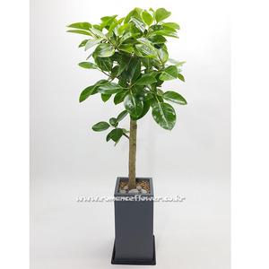 뱅갈나무 3호