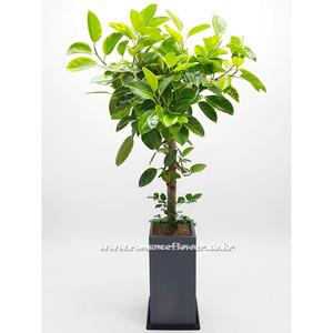 뱅갈나무 4호